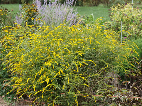 Solidago rugosa 'Fireworks' - Wrinkle-leaved Goldenrod