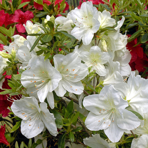 Azalea 'Irish Cream' -  Holly Springs Hybrid