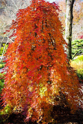 Acer palmatum 'Ryusen' - Japanese Maple