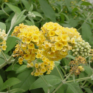 Buddleia davidii 'Honeycomb Yellow' - Butterfly Bush