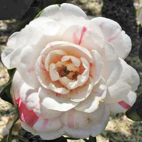 Camellia japonica 'April Dawn' - 3 gal (Pick Up Sales ONLY)