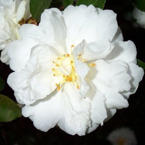 Camellia sasanqua 'Snow on the Mountain' aka 'Mine-No -Yuki'