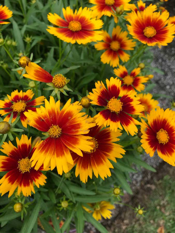Coreopsis 'Up Tick (TM) Gold & Bronze' - Tick Seed