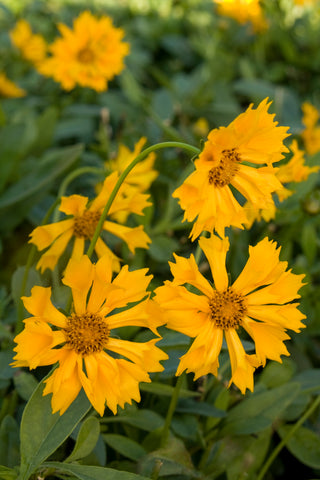 Coreopsis 'Jethro Tull' - Yellow Double Tickseed