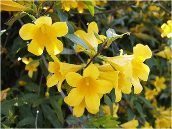 Gelsemium sempervirens - Carolina Yellow Jessamine
