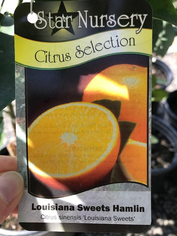 Citrus sinensis 'Louisiana Sweet' - La. Sweet Hamlin Orange