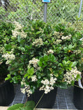 Ligustrum japonicum 'Little Moon' - Dwarf Ligustrum