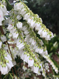 Pieris ryukensis 'Temple Bells' - Lily of the Valley Shrub