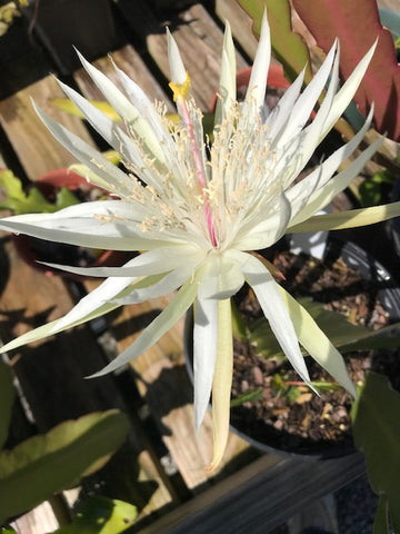 Hylocereus undatus - Night Blooming Cereus