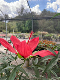 Hibiscus coccinea - Red Texas Star Hibiscus