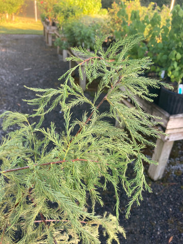 Taxodium ascendens - Pond Cypress