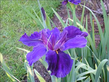 Iris 'Rocky Hunt' - Louisiana Iris (Dark Purple)