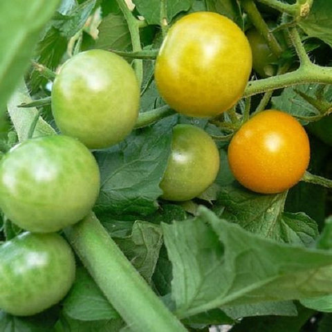 *On sale Feb.19* Tomato Plant - Sungold Hybrid (2 plants)