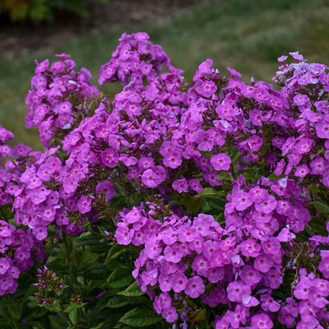 Phlox paniculata 'Cover Girl'
