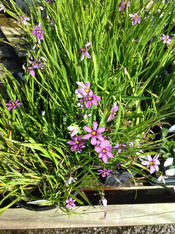 Sisyrinchium  angustifolium - Purple eyed grass