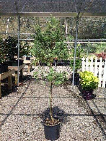 Callistemon viminalis 'Hanna Ray' - Bottle Brush Patio Tree-Standard