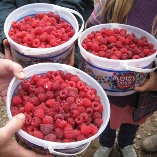 As New Mexico gears up for chile season, let us not forget another local summer bounty – raspberries.