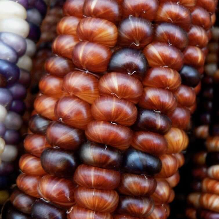 Against The Grain- Mini Ornamental Corn Seeds
