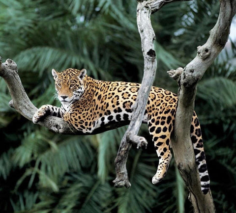 Jaguar in the Yerba Mate lands