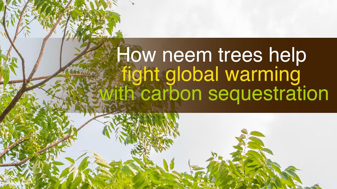 How neem trees help fight global warming with carbon sequestration