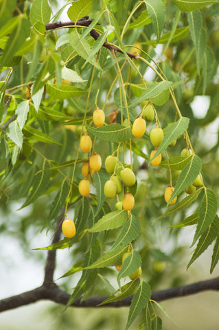 Neem seeds on a tree