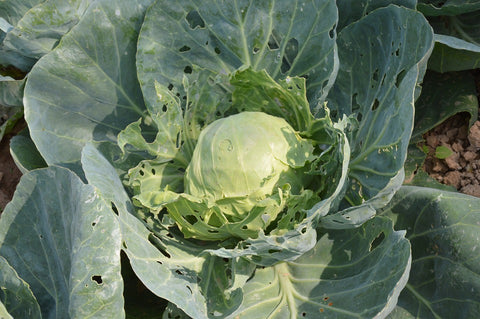 Cabbage eaten by pests