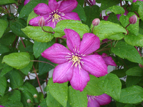 Clematis Bloom