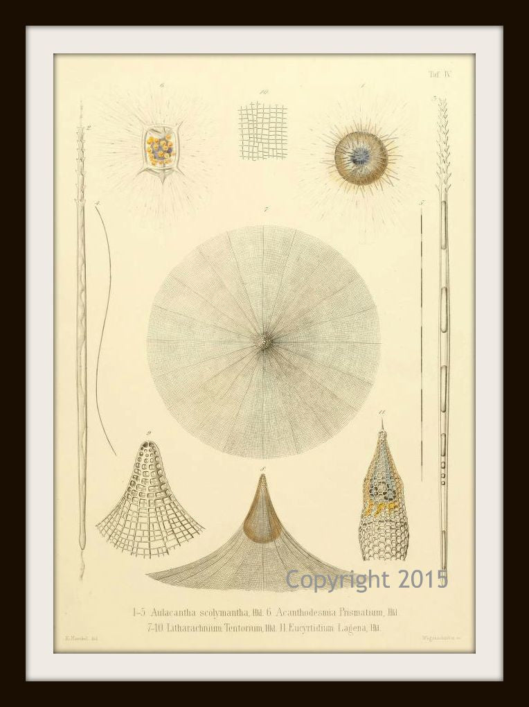 Ernst Haeckel's Radiolaria 101 (1862) Wall Decor