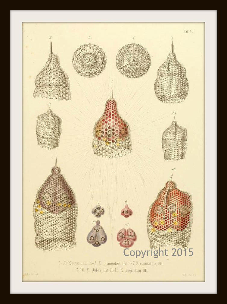 Ernst Haeckel's Radiolaria 103  (1862) Reproduction Art Print