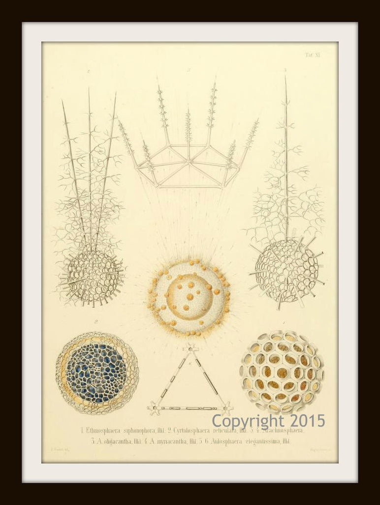 Ernst Haeckel's Radiolaria 104  (1862) Reproduction Art Print