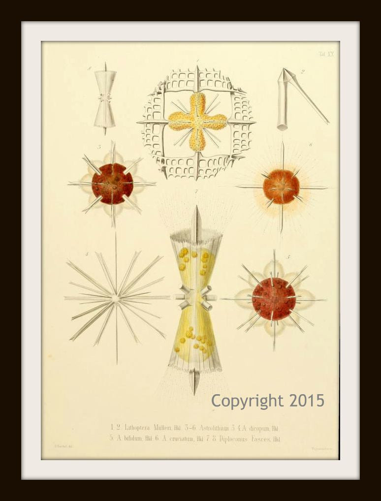 Ernst Haeckel's Radiolaria 106 (1862) Reproduction Art Print