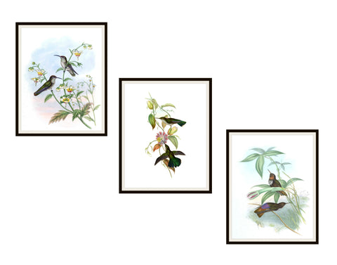 "Set of 3 Vintage Botanical Art Print Poster Reproductions ""Hummingbirds"" Unframed 8 x 10"" or 11 x 14"" by Naturalist John Gould"