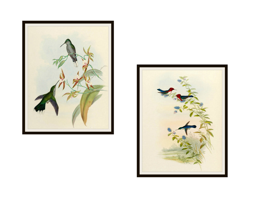 "Set of 2 Vintage Botanical Art Print Poster Reproductions ""Hummingbirds"" Unframed 8 x 10"" or 11 x 14"" by Naturalist John Gould"