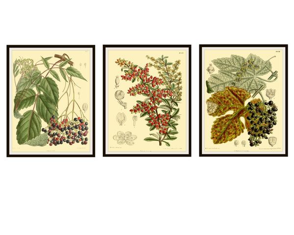 "Set of 3  Vintage Botanical Art Print Poster Reproductions ""Berries""  Unframed 8 x 10"" or 11 xz 14""  Berry Art Print Posters"
