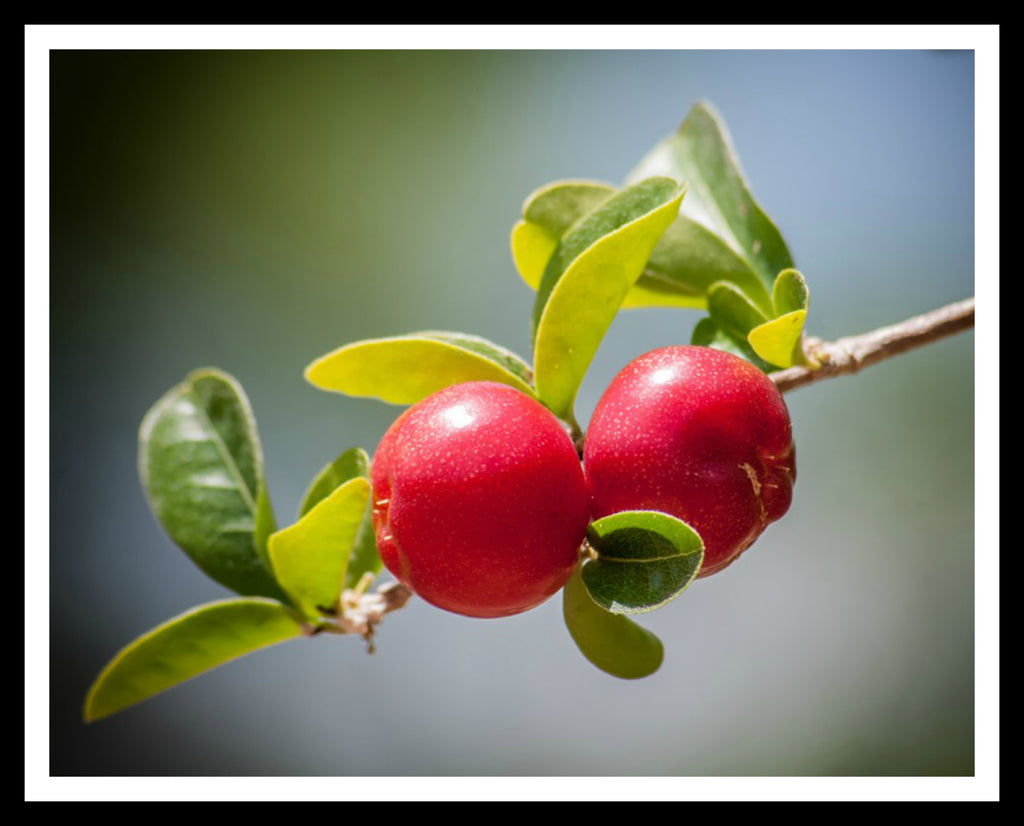 Printed Photo Art Print  Poster Cherries  Art Image Unframed