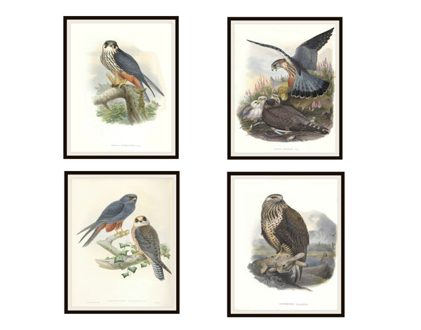 "Set of 4 Vintage Botanical Art Print Poster Reproductions ""Falcons"" Unframed 8 x 10"" or 11 x 14"" by Naturalist John Gould"