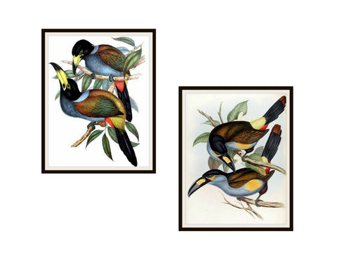 "Set of 2 Vintage Botanical Art Print Poster Reproductions ""Tucans"" #3 8 x 10"" or 11 x 14"", Unframed, Bird Prints, Vintage Tucan Prints"