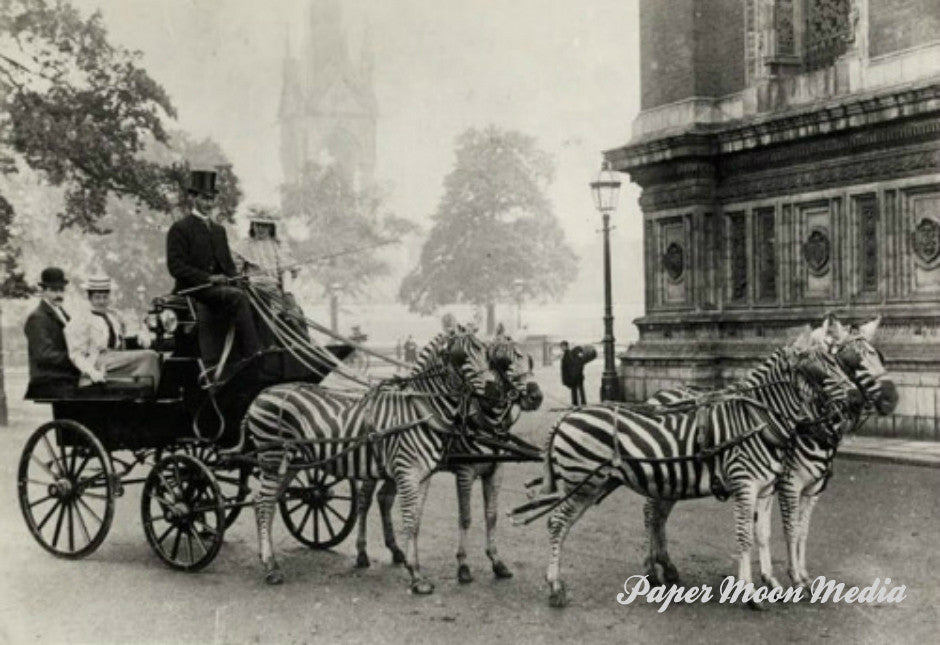 "Vintage Historic Photograph  ""Zebra Carriage   Unframed Wall Decor"