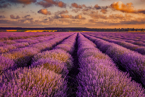 field of lavender in a sunset