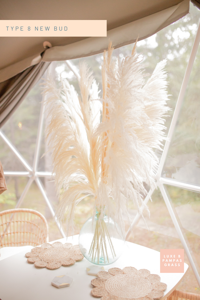 "New Limited Edition Type 8 ""New Bud "" Bleached White PAMPAS GRASS - LUXE B PAMPAS GRASS"