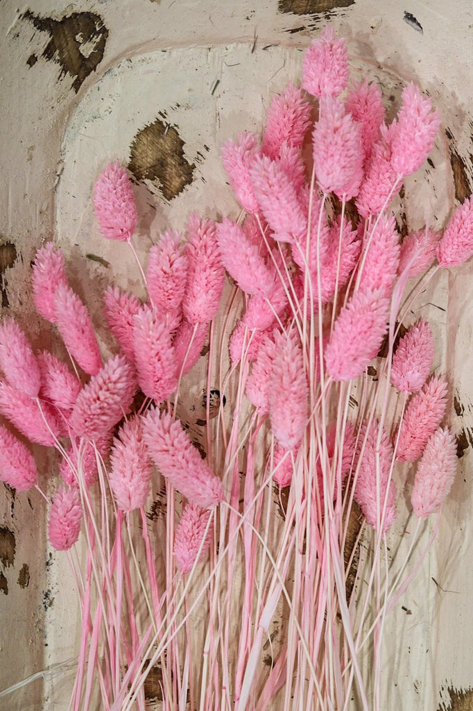 Phalaris Rabbit Grass Tails Bright Pink 50 stems Pampas Grass - LUXE B OFFICIAL