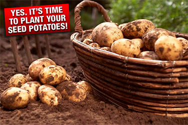 The potatoe seeds in the photo started their journey in Scotland