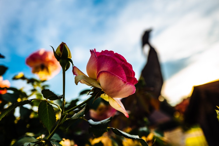 Reigning Roses (Part 1): Top 10 Gardening Tips for Roses