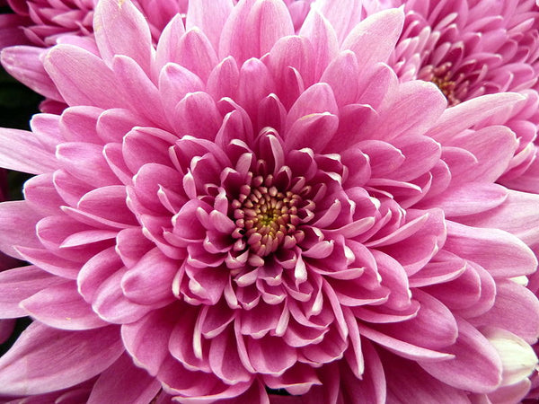 chrysanthemum-flower