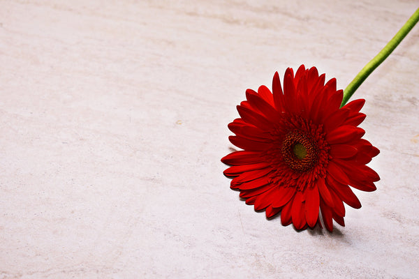 Gerbera Daisies for women's day