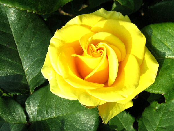 yellow-rose-flower
