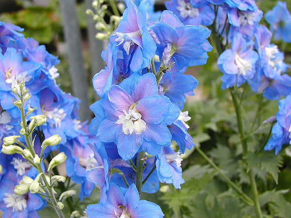 larkspur-flower