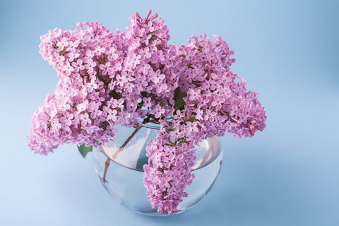 lilacs for your valentine