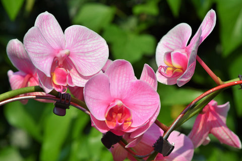 online orchid flower delivery in Pune