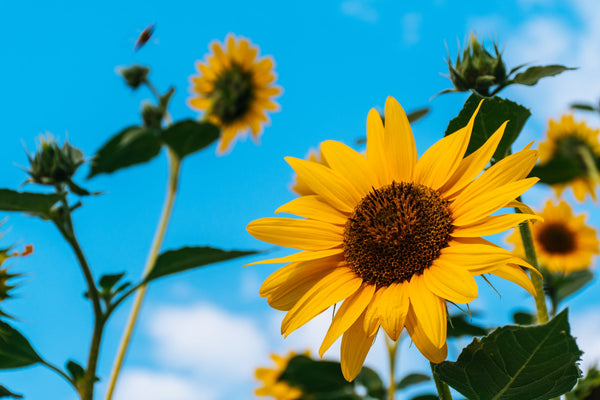 sunflower online delivery in pune